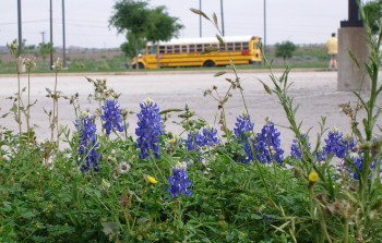 Texas Bluebonnets at the NISD Bus ROAD-EO